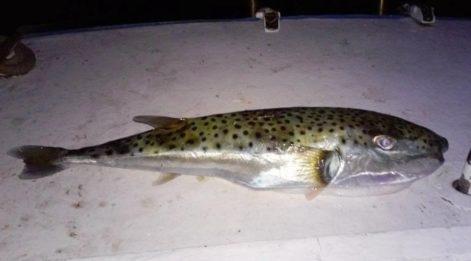 Avladığı balığı yedi, hayatı tehlikede