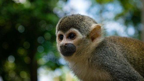 Yeni bir maymun türü keşfedildi! 100 yıldan uzun zamandır...