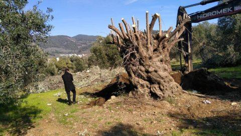Bin yıllık zeytin ağacı yeni yerine taşındı