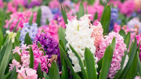 Sümbülün faydaları nelerdir? Sümbül çiçeği neye iyi geliyor?
