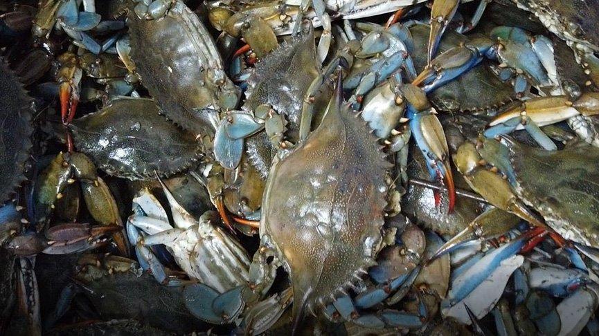 Turistlerin gözdesi, balıkçıların korkulu rüyası: Mavi yengeç
