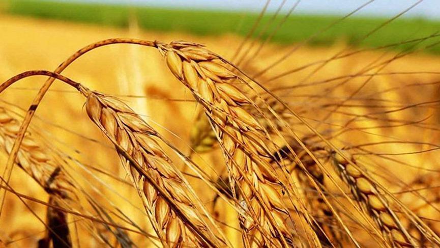 Türkiye'nin buğday talebi Rusya'da fiyatları artırdı