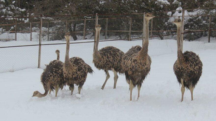 Yavru deve kuşlarının kar yeme yarışı