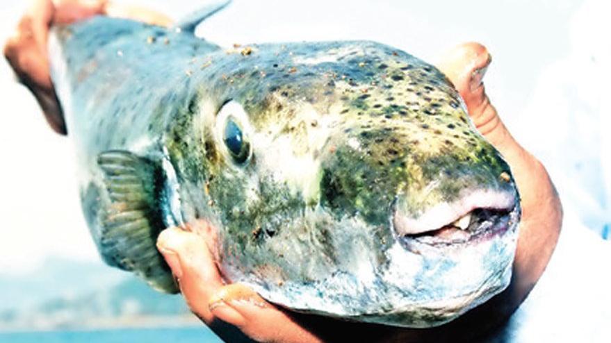 Uzmanından balon balığı uyarısı: Kasları felç ederek ölüme yol açıyor