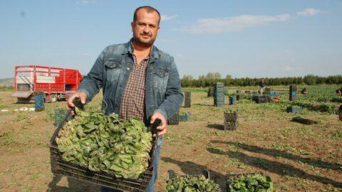 Giresun'daki 'ıspanak zehirledi' iddiaları İzmirli üreticiyi vurdu